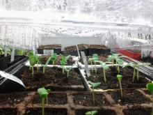 seeds germinating under plastic dome
